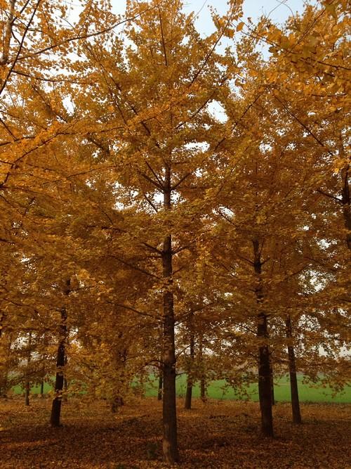 银杏苗价格,银杏树价钱,银杏苗,25公分银杏树价格,30公分银杏树价格
